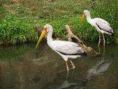 Yellow-biled storks — Stock Photo