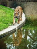 Tiger i hagen — Stockfoto