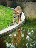 Tiger in paddock — Stock Photo