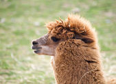 Lama uanaco - Lama guanicoe — Stock Photo