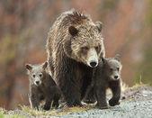 Grizzly Family — Stockfoto