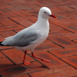 Stock Photo: Dancing sea-gull