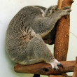 Sleeping koala - Stock Photo