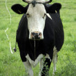 Black cow — Stock Photo #7718090