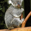 Stock Photo: Koala on a tree