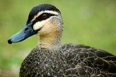 Duck detail — Stock Photo