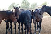 Cavalli maremmani — Stock Photo