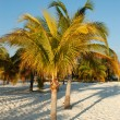Palma ai caraibi — Stock Photo