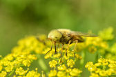 Gad-fly on yellow flower — Stock Photo