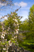 Flowers of cherry and blue sky — Stock Photo