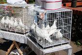 Białe gołębie w coop — Zdjęcie stockowe