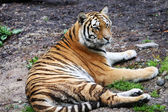 Resting tiger — Stock Photo