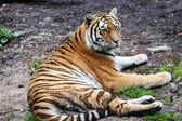 Resting tiger — Stock Photo