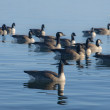 Lake Ducks - Stock Photo