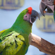 Green and Bue Parrot - Stock Photo