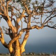 Long Beach Tree — Stock Photo