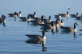 Lake Ducks — Stock Photo