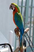 зеленый и bue попугай — Стоковое фото