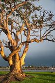 Long Beach Tree — Stock Photo