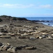 Stock Photo: Elephant Seals 2