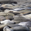 Stock Photo: Elephant Seals 1