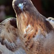 Red Tail Hawk - Stok fotoğraf