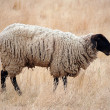 Black Headed Sheep — Stock Photo