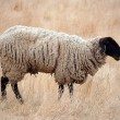 Stock Photo: Black Headed Sheep