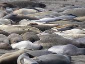 Éléphants de mer 1 — Photo