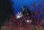 Raro Astrospartus mediterraneus su gorgonia rossa — Stock Photo