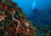 Anellide vermocane Hermodice carunculata — Stock Photo