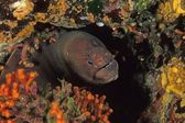 Murena nera Lycodontis unicolor — Stock Photo