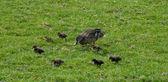 Duck family — Stock Photo