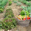 Kitchen garden — Stock Photo