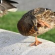 Stock Photo: Ente (Vogel)