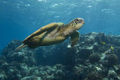 Green Sea Turtle — Stock Photo