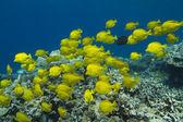 Yellow Tang — Stock Photo
