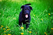 Black puppy on a grass — Stock Photo