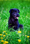 The puppy sits on a grass — Stock Photo