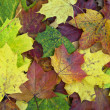 Maple leaves — Stock Photo #7687652