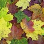 Maple leaves — Stock Photo #7687652