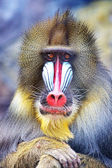 The monkey reflects — Stock Photo