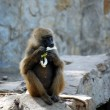 Baboon eating a banana - Stock Photo