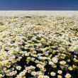 Daisy Fields — Stock Photo