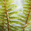 Fern Details — Stock Photo