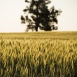 Grain Fields — Stock Photo