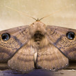 Moth — Stock Photo