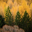 Pine Trees — Stock Photo
