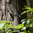 Wild Goanna - Stock Photo