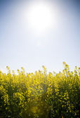 Canola Under Sun — Stock Photo